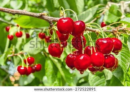 Red berry sweet cherry on a background of green foliage with water drops. Selective focus