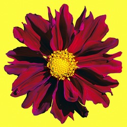 Red big dahlia on a yellow background