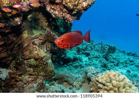 Red Bigeye fish underneath a pinnacle on a coral reef