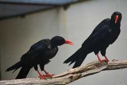 red billed alpine crow in a zoo