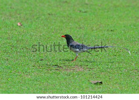 Red-billed Blue Magpie - stock photo