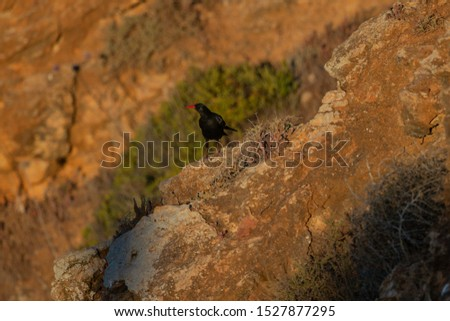 Red-billed Chough Latin name: Pyrrhocorax pyrrhocorax