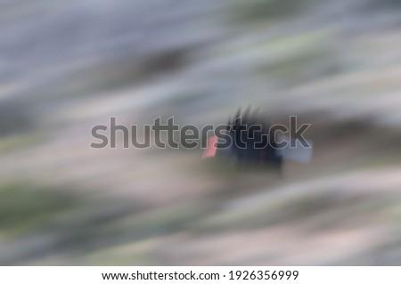 Red-billed chough Pyrrhocorax pyrrhocorax barbarus flying. Picture blur to suggest movement. Cumbre Vieja N. P. La Palma. Canary Islands. Spain. Foto stock ©