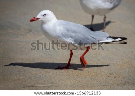 Red-billed Gull (Chroicocephalus scopulinus) walking along a beach in New Zealand