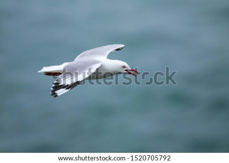Red-billed gull flying at Taiaroa Head, Otago Peninsula, New Zealand. It is endemic to New Zealand.