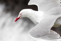 red-billed gull flying, New Zealand