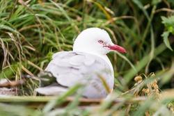 Red-Billed Gull in Dunedin, New Zealand