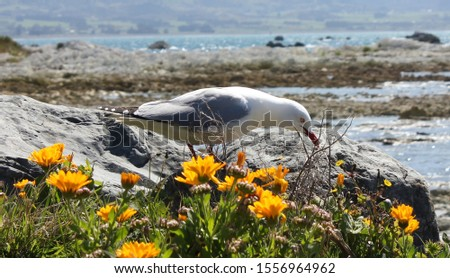 Red-Billed Gull, Kaikoura, New Zealand