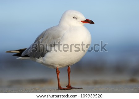 Red-billed Gull (Larus novaehollandiae) standing on beach.