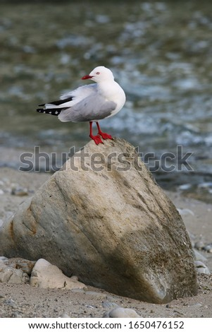 Red-billed gull sitting on a rock, Kaikoura peninsula, South Island, New Zealand. This bird is native to New Zealand.