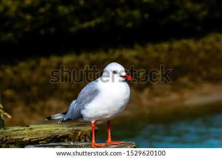 Red billed gull takes a tour of his beach. Stanmore Bay, Auckland, New Zealand