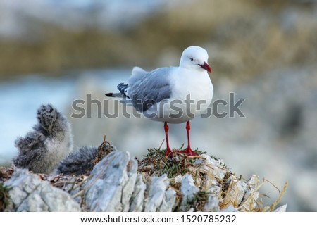 Red-billed gull with small chick, Kaikoura peninsula, South Island, New Zealand. This bird is native to New Zealand.