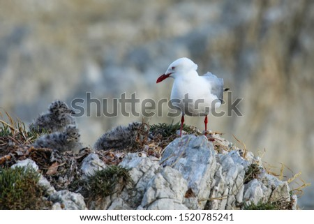 Red-billed gull with small chicks, Kaikoura peninsula, South Island, New Zealand. This bird is native to New Zealand.