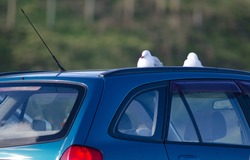 Red billed gulls (Larus novaehollandiae scopulinus) resting on a top of a car. Taiaroa Head. Otago peninsula. Otago. South Island. New Zealand.