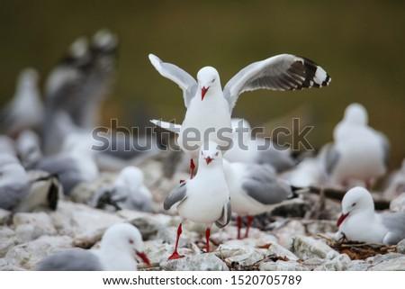 Red-billed gulls mating, Kaikoura peninsula, South Island, New Zealand. This bird is native to New Zealand.