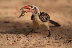 Red billed hornbill. Catched a little mouse, tossing it around in his beak.