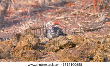 Red billed hornbill feeding on insects on Elephant poop