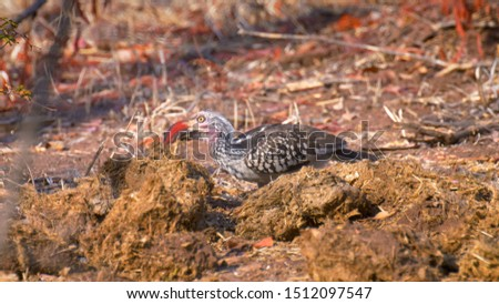Red billed hornbill feeding on insects on Elephant poop, Victoria falls, Zimbabwe