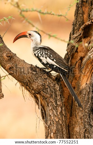 Red-billed Hornbill  in the tree,, Samburu, Kenya