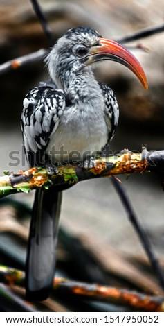 Red-billed hornbill sitting on the branch. Latin name - Tockus erythrorhynchus