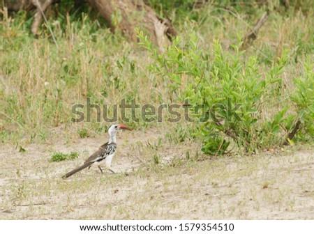 Red-billed Hornbill (Tockus erythrorhynchus), on the ground