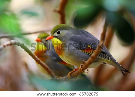 Red-billed Leiothrix (Peking robin)
