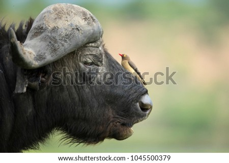 Red billed oxpecker on a buffalo