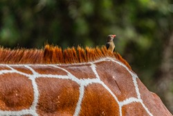 Red-billed oxpecker on back of reticulated giraffe,  Samburu Game Reserve, Kenya. The bird is targeting  ticks and small parasites found on the coat of the Somali Giraffe. Bokeh background. Copy space