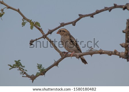Red billed Quelea on a branch, Chobe riverfront, Namibia, Africa