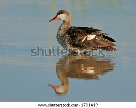 Red-billed teal (Anas erythrorhyncha) standing in water, Etosha National Park, Namibia