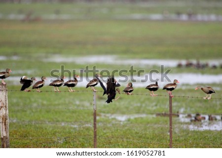 Red-Billed Whistling Duck, dendrocygna automnalis, Group standing in Swamp, Los Lianos in Venezuela