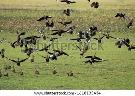 Red-Billed Whistling Duck, dendrocygna automnalis, Los Lianos in Venezuela