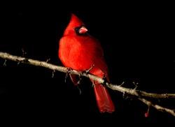 Red Bird On Black