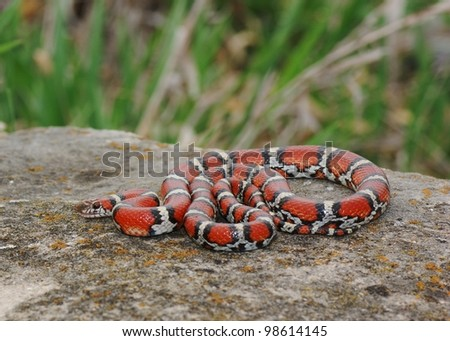 Red, black and white snake coiled in wait, Lampropeltis triangulum syspila
