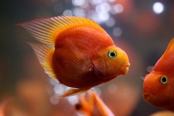 Red blood parrot cichlid are swimming in fish tank. it is a freshwater fish hybrid of the midas and the redhead cichlid. The Blood Parrot cichlid is a beautiful fish in freshwater aquarium.