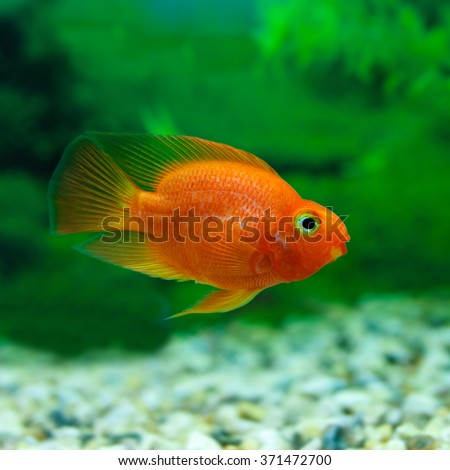 Red Blood Parrot Cichlid In Aquarium Plant Green Background Funny Orange Colorful Fish