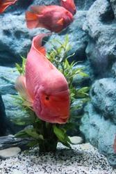 Red blood parrot fish swimming in aquarium.