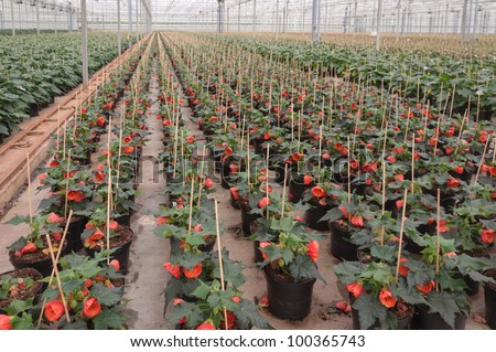 Red blooming Abutilon houseplants in a Dutch plant nursery.