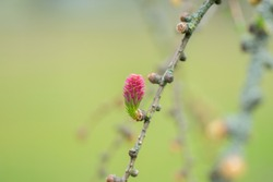 Red blooming cone of european larch tree (Larix decidua) on a branch with fresh green needles at spring