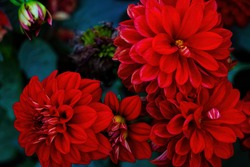 Red blooming dahlias in the garden in spring
