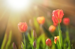 Red blooming tulips in the rays of sun light. Tulip garden in spring time.