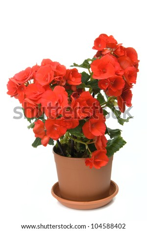 Red blossoming begonia isolated on white background