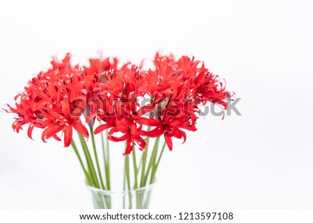 Red blossoms of the Guernsey lily, Nerina bowdenii. A small collection of nerine blooms. genus of plants of the family Amaryllidaceae. The natural range South Africa