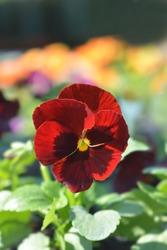 Red Blotch Pansy - Latin name - Viola x wittrockiana