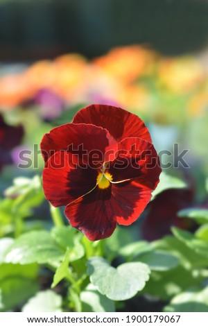 Red Blotch Pansy - Latin name - Viola x wittrockiana Stockfoto ©
