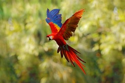 Red blue macaw parrot flying in dark green vegetation with beautiful back light and rain. Scarlet Macaw, Ara macao, in tropical forest, Costa Rica. Wildlife scene from tropical nature. Red in forest.