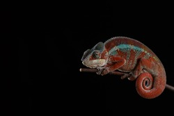 Red, blue, turquoise and white chameleon against a black background. Furcifer pardalis.