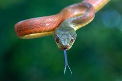 Red Boiga snake