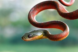 Red boiga snake side view head, animal closeup