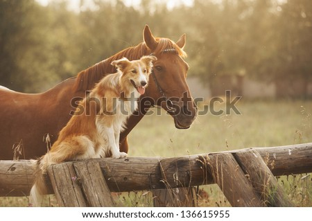 Red border collie dog and horse together at sunset in summer #136615955